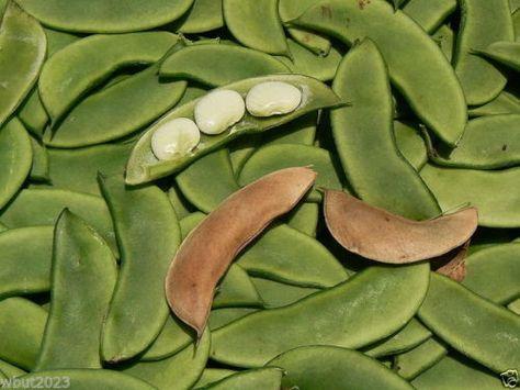 Bean - Henderson's Earliest Bush Bean,300 Seeds (Baby Lima) Heirloom Organic