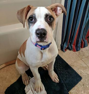 Dallas Ga American Bulldog Meet Maybelline A Dog For Adoption