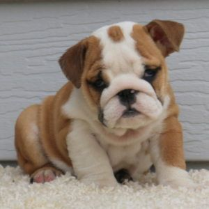 We Offer These Purebred English Bulldog Puppies Which Ate Of Top