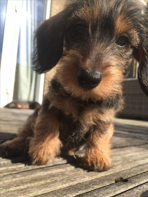 Mail Vmjack1415 Live Co Uk Wirehaired Dachshund Puppy Wire