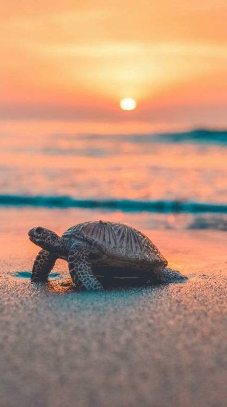 Sea Turtle Iphone Wallpaper Sea Sunset Free Large Images Sea Turtle Sunset Iphone Wallpaper Cute Animal Photos Baby Animals Pictures Cute Baby Turtles