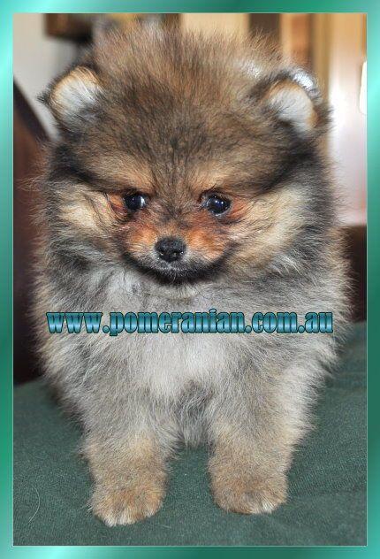 Pomerananian Pomeranianpuppy Dochlaggiepomeranianpuppy Dochlaggie Pomeranian Puppy Pomeranan Puppy Pomeranian Puppy Pomeranian Breed Puppies
