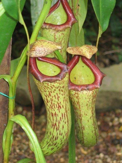 Indoor Pitcher Plant Care Tips On Growing Pitcher Plant As A