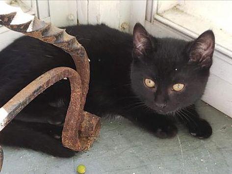 Rockaway Nj Domestic Shorthair Meet Betsy Kitten A Cat For Adoption Cat Adoption Cats