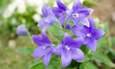 Platycodon Grandiflorus Balloon Flower Chinese Balloon Flower Chinese Bellflower Japanese Bellflower In 2020 Balloon Flowers Fragrant Flowers Herbaceous Perennials