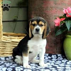 Beagle Puppies For Sale Beagle Breed Profile Beagle Breeds