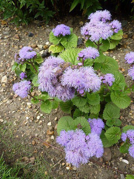 100 Dwarf Blue Mink Ageratum Houstonianum Fuzzy Double West Etsy Flower Seeds Annual Plants Blue Plants