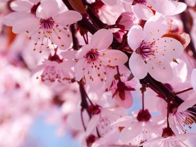 Cherry Blossom Meanings Vary For Different Cultures Hope And Humility In Janpan And Fem Cherry Blossom Wallpaper Cherry Blossom Meaning Cherry Blossom Flowers