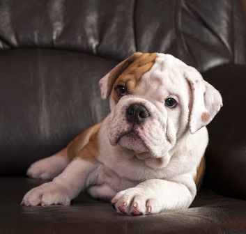 Pin By Dog Breeds On Olde English Bulldogge In 2020 Olde English Bulldogge City Dog Dog Exercise