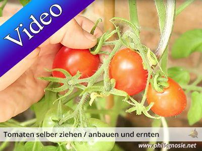 Leckere Tomaten Und Seltene Tomatensorten Kann Jeder Ganz Einfach Selber Ziehen Pflanzen Was Ihr Beim Anbauen Der Tomat Tomaten Tomaten Sorten Tomatensorten
