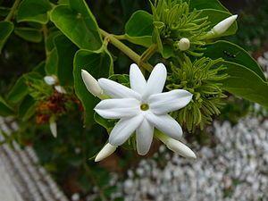 Star Jasmines Jasminum Multiflorum Jasminum Multiflorum Is A Species Of Jasmine In The Family Oleaceae It Is Known As Win Bela Flower Jasmine Plant Plants