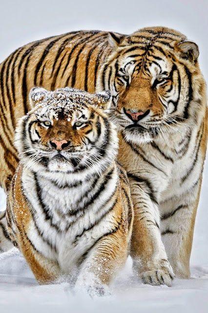 Pin Von Chumani On Tree Auf Tigers Grosse Katzen Wilde Katzen