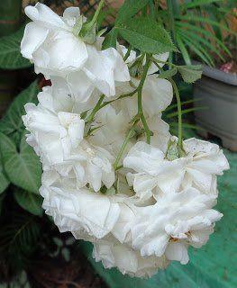 Rosa Branca Beneficios Como Fazer O Cha E Porque Usar Com