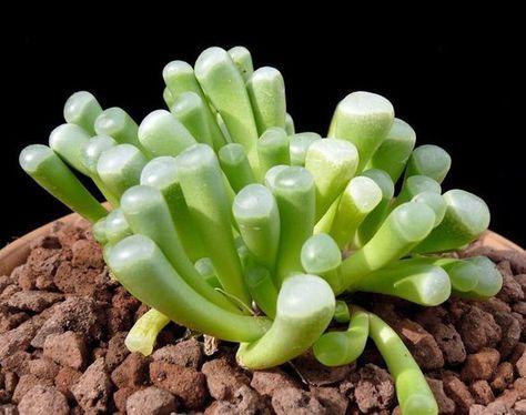 Succulents Live Plant Fenestraria Aurantiaca Baby Toes Plants Unusual Plants Succulents