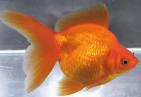 Veiltail Goldfish Fish In 2020 Veiltail Goldfish Ryukin Goldfish Aquarium Fish