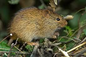 Bush Rat Google Search Rats Animals