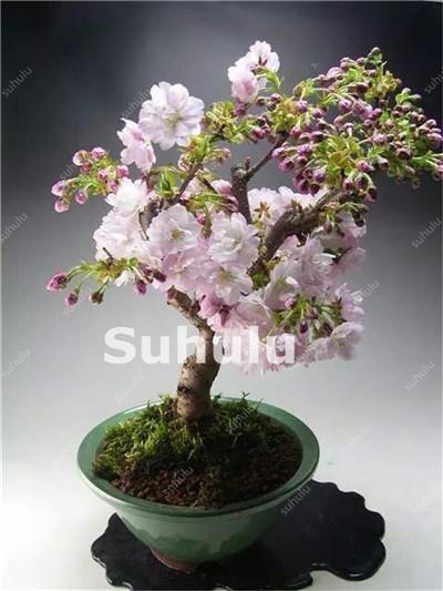 20 Pcs Mini Bonsai Tree Japanese Sakura Plant Rare Cherry Blossoms Flowers Plant In Bonsai Pink Prunus Serrulata Fo Bonsai Tree Types Bonsai Flower Bonsai Tree