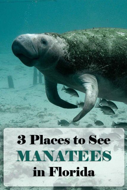 3 Places To See Manatees In Florida Florida Travel Places To See Florida