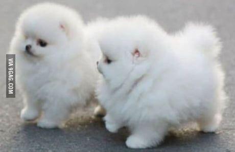 Two Tiny Fluffy Furballs D Pomeranian Puppy Cute Pomeranian