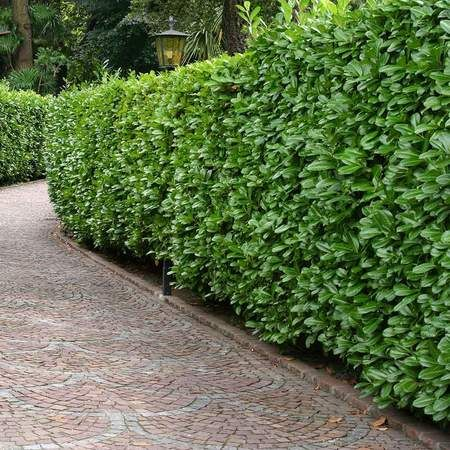 Skip Cherry Laurel Shrubs Shrubs For Privacy Hedges Landscaping Fast Growing Evergreens