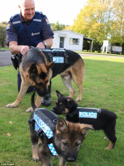New Zealand Police dogs Ike (back) and puppies Kuba and Loki try out new stab-resistant ve...