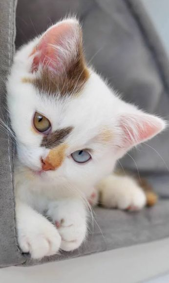 Why Do Some Cats Have Two Different Eye Colors Pretty Cats Kittens Cutest Cute Cats And Kittens