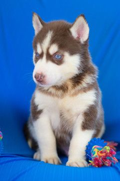 Siberian Husky Puppy For Sale In Kent Oh Adn 62355 On