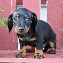 Dachshund Puppies For Sale Puppyspot Dachshund Puppies