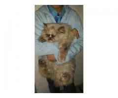 Himalayan Extreme Punch Face Cat Available For Sale Age 1 7 Year Triple Coat Please Call Me Cats For Sale Cats Persian Cat
