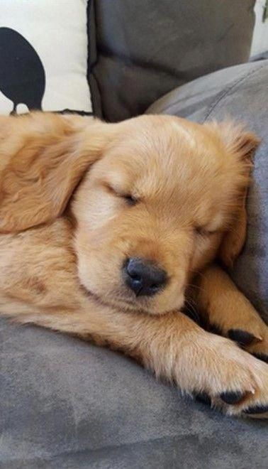 Everything About The Intelligent Golden Retriever Pup Personality