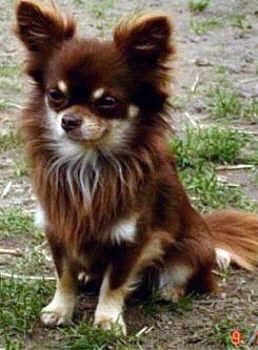 Fur Welchen Chihuahua Wurdet Ihr Euch Entscheiden Chihuahua Verruckte Hundefrau Hunde
