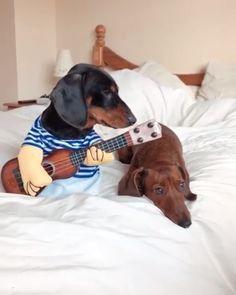 Funny Dachshund Videos Funny Dog Videos Funny Pet Videos Funny