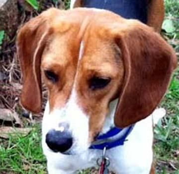 Adopt Major On Adoptable Beagle Beagle Dog Adoption