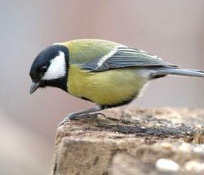 Les 20 Especes D Oiseaux Les Plus Observees Mesange Charbonniere Oiseaux Photo Oiseau