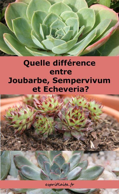 Difference Echeveria Joubarbe Et Sempervivum Sempervivum
