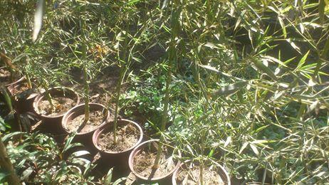 صناعة الزراعة شتلات بامبو غاب افرنجي عملاق Plants