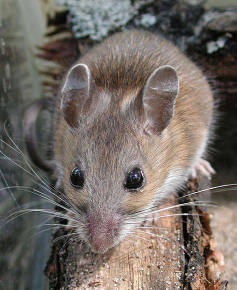 White-Footed Mouse: CO has 6 species; active throughout the year ...
