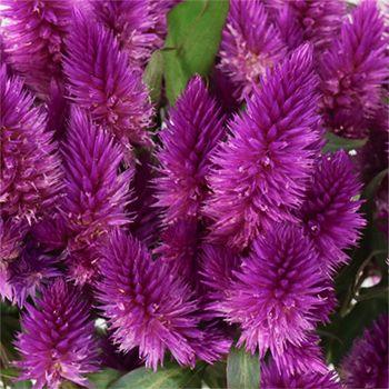 Purple Berry Feather Celosia Flower Fiftyflowers Com Celosia Flower Purple Succulents Flower Seeds