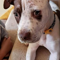 Dallas Ga Available Pets At Friends To The Forlorn Pitbull