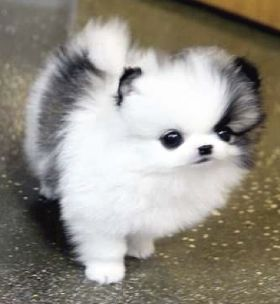 Pomeranian Rolly Teacup Puppies Cuteanimals In 2020 Teacup Puppies Pomeranian Puppy Teacup Pomeranian Puppy