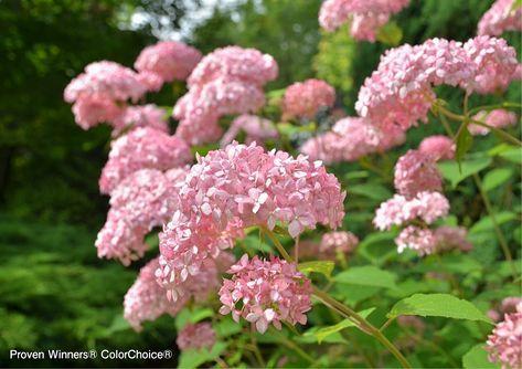 人気急上昇中 手毬の花が咲く花木 アナベル の人気品種と最新品種 初夏の花 多年草の庭 植物栽培