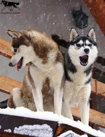 Siberian Husky Guard Dogs Not D Siberian Husky Siberian