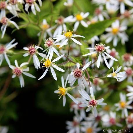 Aster Rozkrzewiony Aster Divaricatus Albamar Aster Plants