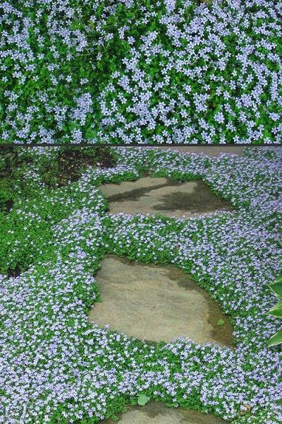 Blue Star Creeper Laurentia Axillaris Creepers Gardening For Kids