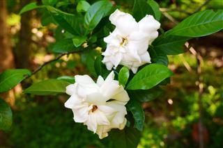 How To Prune A Gardenia Bush Succulentplants Gardenia Bush