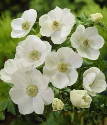 Christmas Lights In White Springs 2020 White Spring Anemone in 2020 | Beautiful flowers, Grow gorgeous