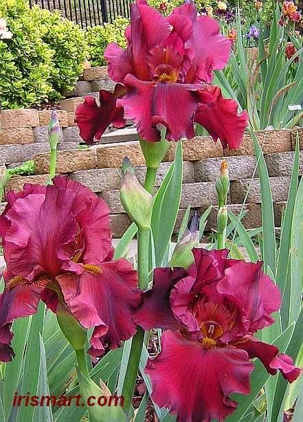 Awesome Tall Bearded Iris Dynamite 36 48 Inches Zones 3 8 Iris Flowers Iris Garden Beautiful Flowers