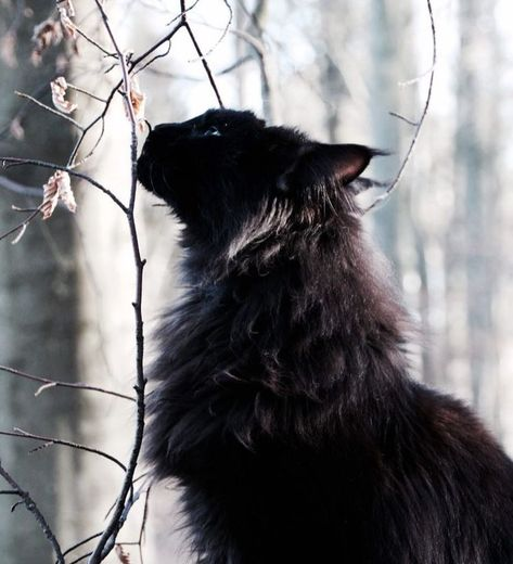 √ 14 Most Amazingly Beautiful Cat Breeds in the World Cat memes - Warrior Cats, Beautiful Cat Breeds, Beautiful Cats, Cat Anime, Black Cat Aesthetic, Cat Movie, Video Chat, World Cat, Photo Chat