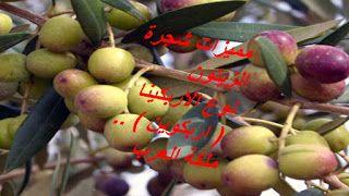 المهندس الزراعي مميزات شجرة الزيتون نوع الاربكينا اربكوين Olive Tree Tree Agriculture