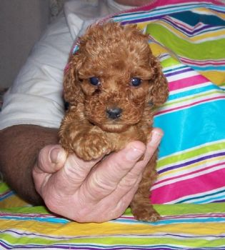 Teacuo Poodle Please Give Us A Call At 954 353 7864